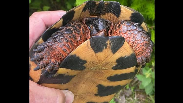 Maine Turtles