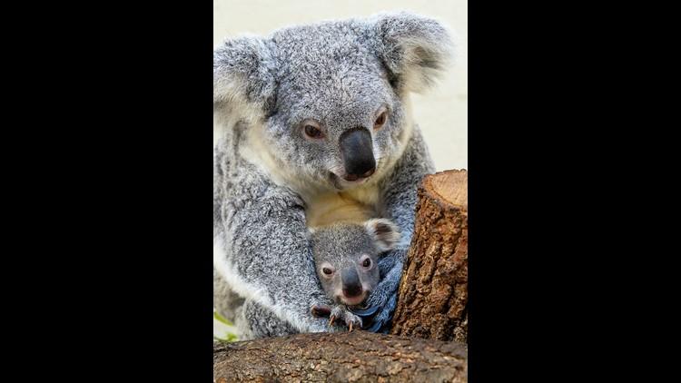 Baby koala and mother