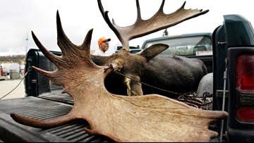 """Maine moose hunt starts for the year with """"bulls only"""" week"""