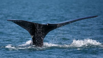 Maine's top marine official responds to NOAA right whale protection plan rejection