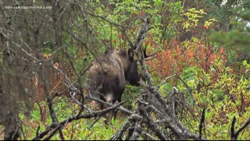 Moose season for rural areas in Maine