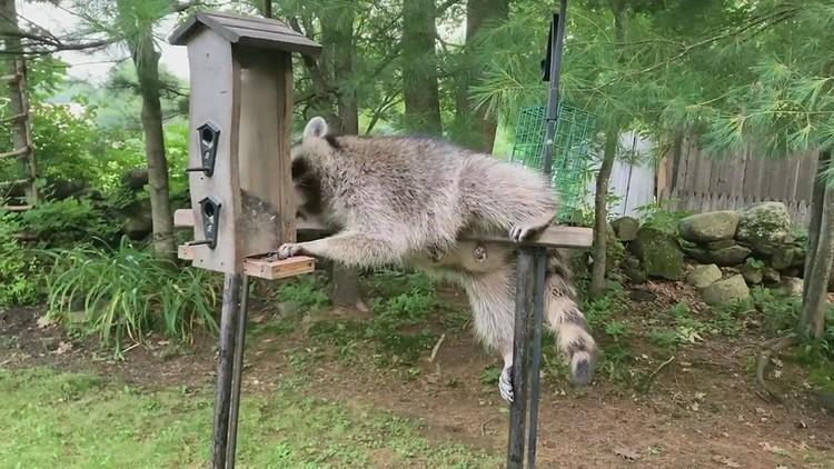 Mumma Raccoon Snacking on Birdseed