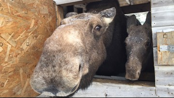 Cuteness Alert: The Maine Wildlife Park in Gray is closed for the season but Winter can still be busy.
