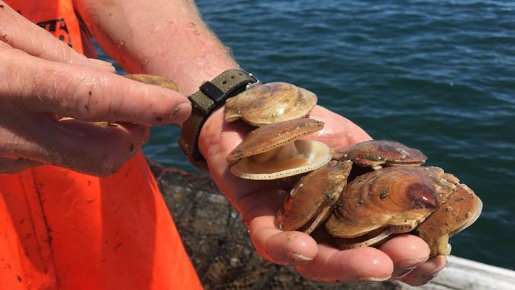 Farmed scallops cater to consumer demand, fishermen's future