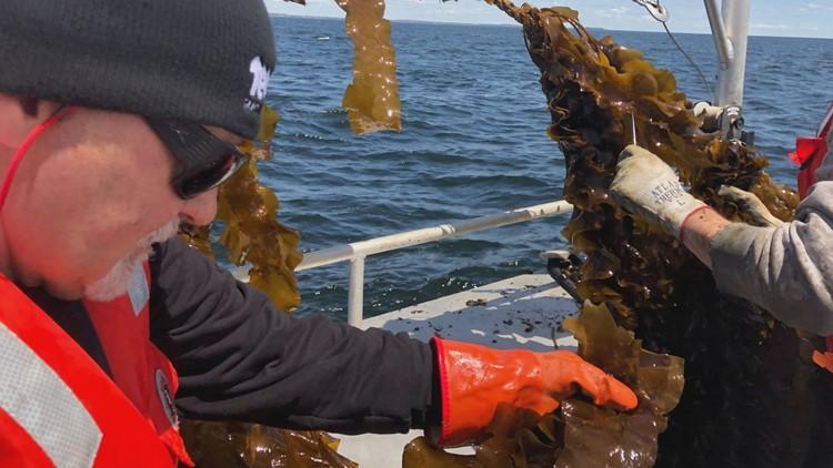 UNE kelp 2