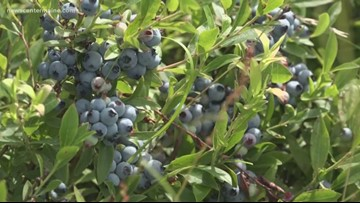 Maine's berries and potatoes on the menu for Open Farm Day