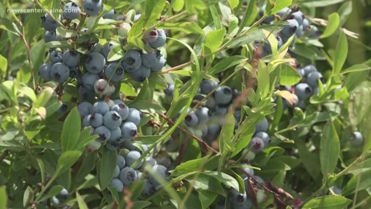King, Collins co-sponsor senate resolution to make July National Blueberry Month