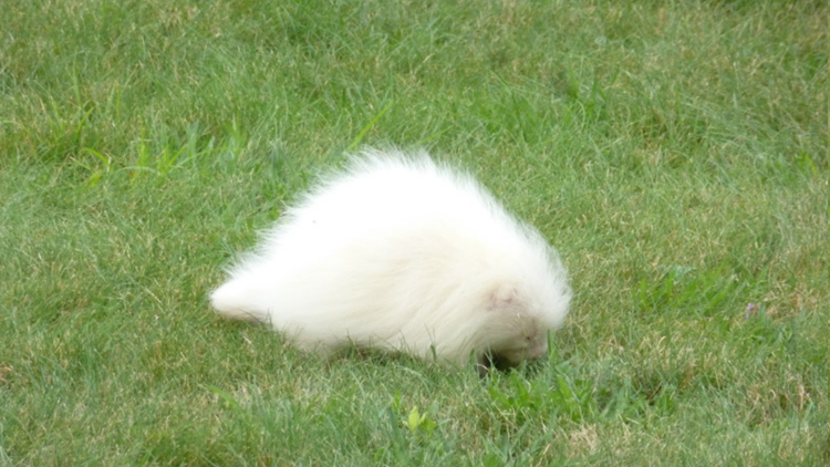 Rare albino porcupine spotted in Kennebunkport
