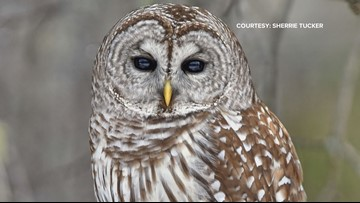 A high number of owl rescues reported in Maine this winter