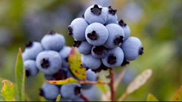 Maine calls for USDA to provide more support for blueberries
