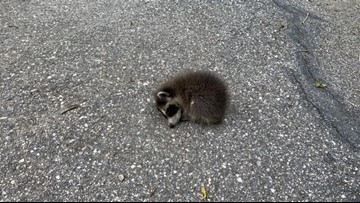 Wildlife rehabbers, Facebook come to rescue of baby raccoon