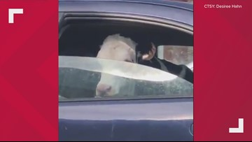 Just a Maine cow, hanging out in a car