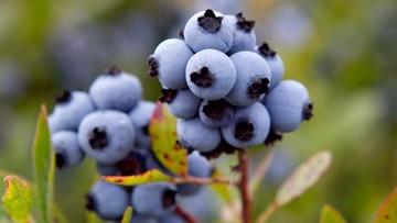 44th annual Machias Wild Blueberry Festival in full swing