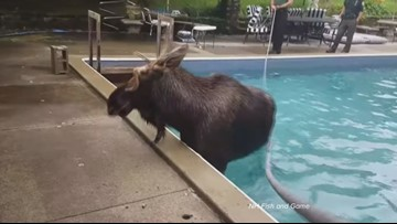 WATCH: Moose on the loose gets stranded in N.H. pool