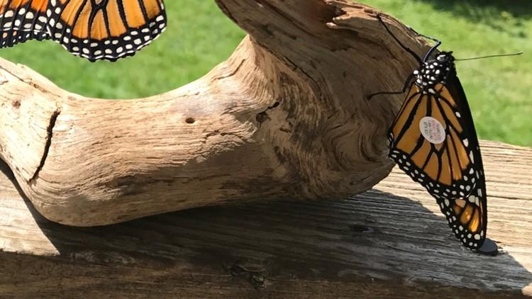Thomas Klak's tagged monarchs