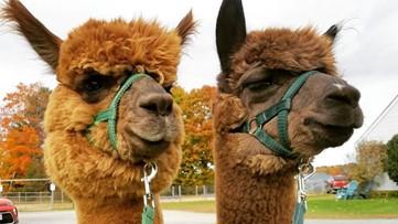 Maine alpaca farm offering free virtual tours amid closing due to coronavirus