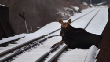 Incredible video! Moose rescued from train tracks