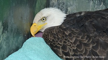 Sixth bald eagle of 2020  rescued sick with lead poisoning
