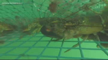 Maine to receive grant to study lobsters