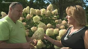Your Garden: Cutting hydrangeas for  bouquets