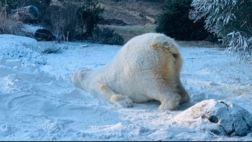You May Not Like The Cold, But The NC Zoo Polar Bears Are Loving It!