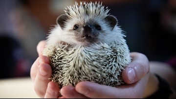 How an Ohio company is using a hedgehog to help solve football's concussion problem