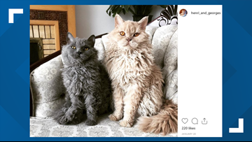 PHOTOS: This cat breed is the feline version of a