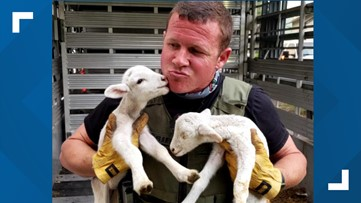 Sheep rescued from wildfire kiss, cuddle first responders who saved their lives