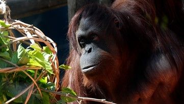Orangutan granted human status settles into new Florida home