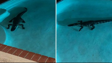 Florida woman woken up by 7-foot alligator in her pool