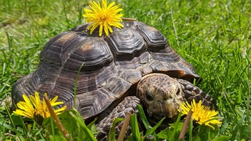 53-year-old tortoise needs new home after owner dies of COVID-19