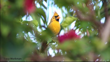Woman captures astonishing photo of extremely rare yellow cardinal