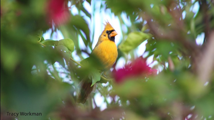 Sunny the extremely rare yellow cardinal