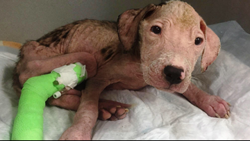 A dog blood donation saved this pit bull's life | Here's how your dog can help others in need