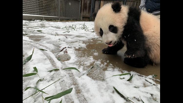 National Zoo pandas enjoy DC snow   Get Uplifted