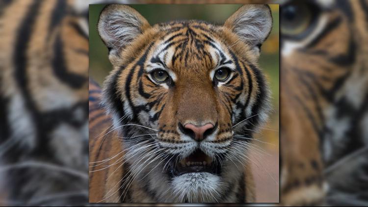 Tiger Bronx Zoo